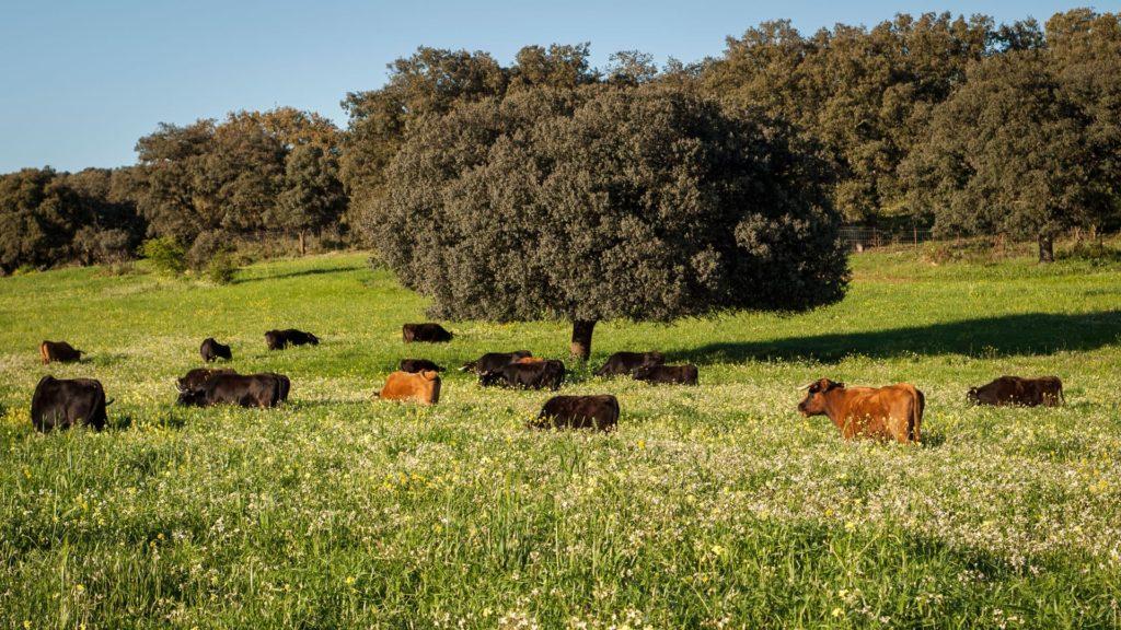 Ganadería de toros bravos – Visita guiada