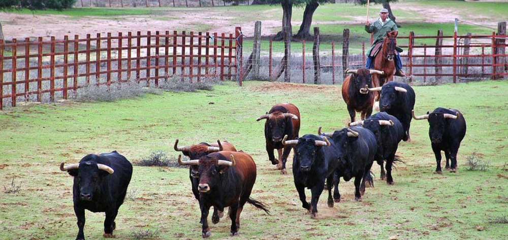 Ganadería de toros bravos